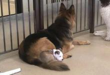 Photo of This Dog picks out the softest four-legged friend every day for naps