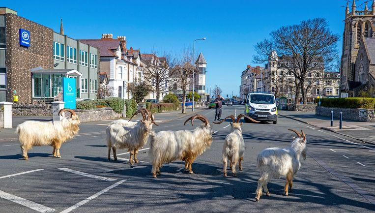 Photo of In Wales, residents stay in while wild goats enjoying the streets