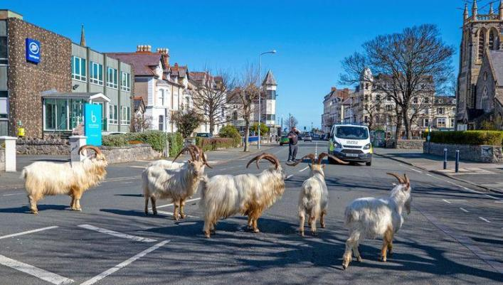 A group of wild goats in Llandudno, Wales.