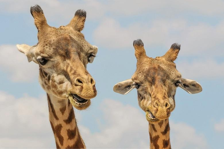Clash between two male giraffes competing for female [Video]