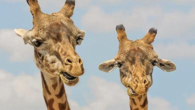 Photo of Clash between two male giraffes competing for female [Video]
