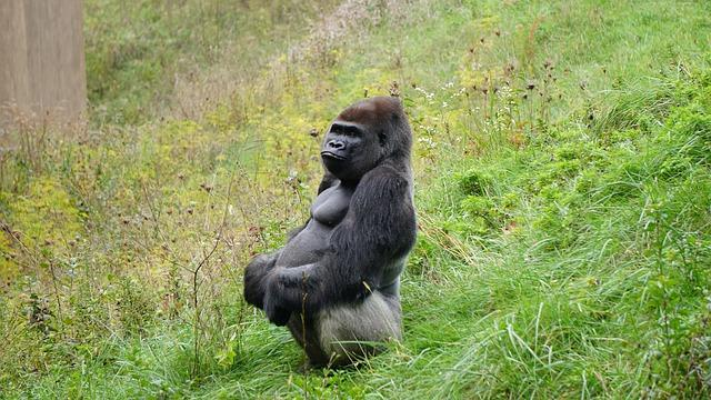 Photo of Life imprisonment for killing  25-year-old rare silverback gorilla