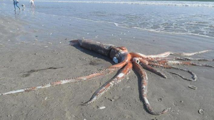 The rare giant squid washed up in South Africa.