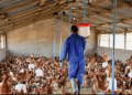 Poultry farmers in Ghana are entreating Ghanaians to consume poultry products produced in the country.SOURCE/TWITTER