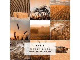 Collection of wheat heads Set 1 Stock Photo
