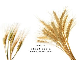 Collection of wheat heads Set 3 Stock Photo