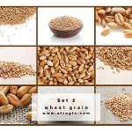 Collection of wheat heads Set 2 Stock Photo