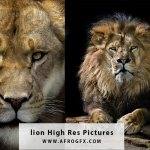 lion High Res Pictures - HD Wallpapers Collection 1