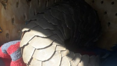 3 suspects apprehended in Brits for having endangered pangolin in their possession