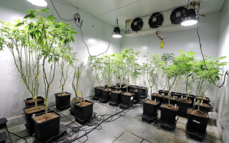 2 suspects nabbed in hydroponic Dagga lab in Ottery