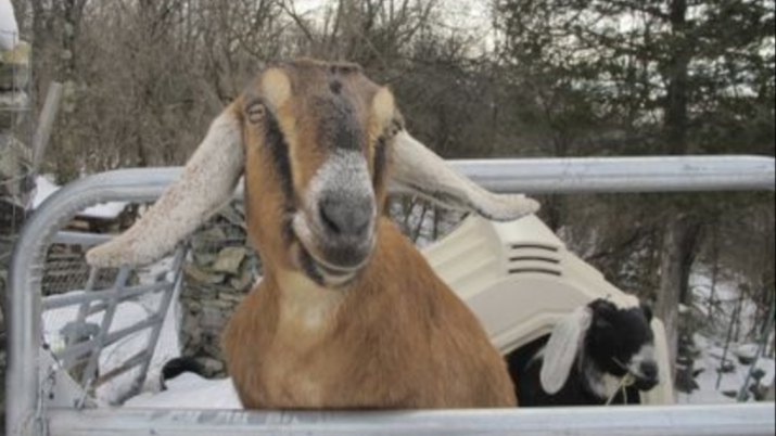 US town elects goat and dog as mayor