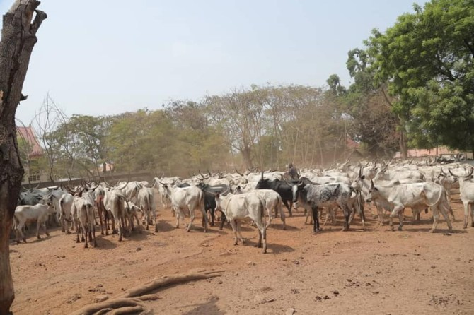 PHOTOS: Benue impounds 376 cows, arrests six herdsmen for flouting anti-open grazing law