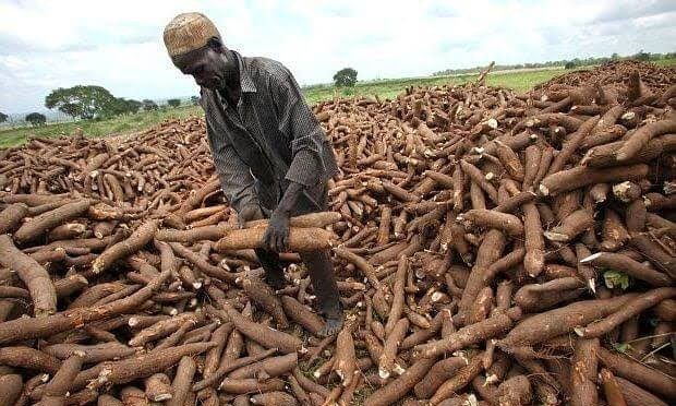 Nigeria now largest producer of cassava in the world – FG