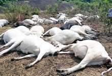 40 cattle die after eating poisonous grass in Taraba