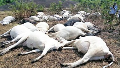 Thunder strike kills over 12 cows in Delta