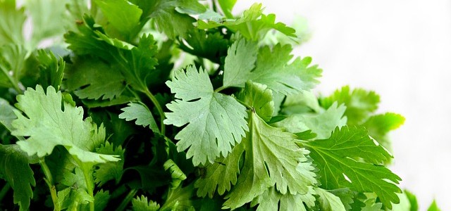Cilantro – Removes heavy metals and purify water