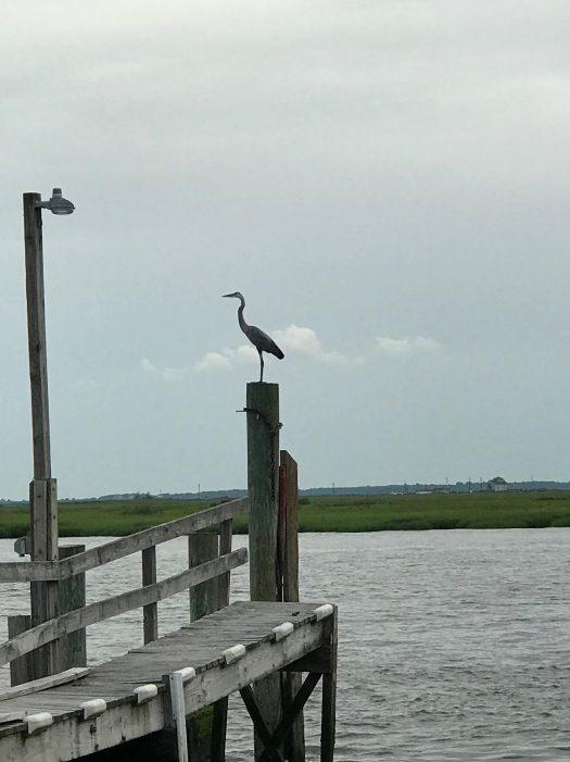 blue heron at boat ramp