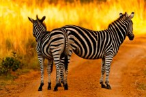 106 Teus Renes Zebras