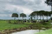 4 Detty Verbon Alblasserwaard koeien