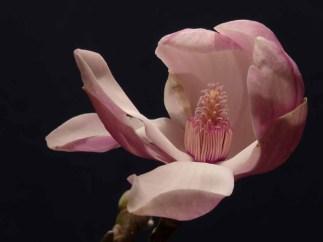 92 Wim Fokkema Magnolia