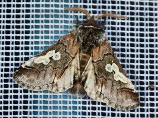 Nicht selten, aber schön! Blaukopf Diloba caeruleocephala