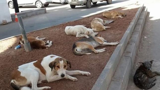 كلاب ضالة تهاجم طفلة بأكادير