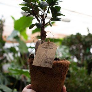 Ficus bonsaj