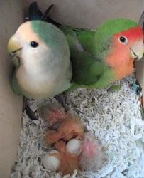 cria de pajaros inseparables en aviarios