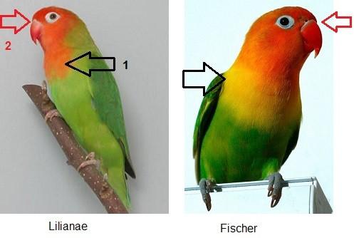 diferencia entre agaporni fisher y lilianae