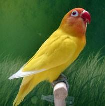 agaporni personata lutino amarillo