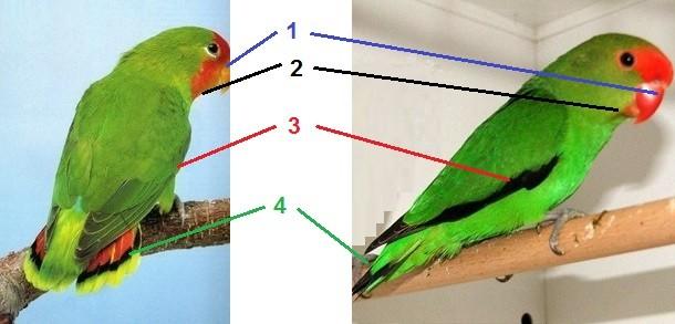 Diferencia entre un agaporni macho Taranta y Pullarius