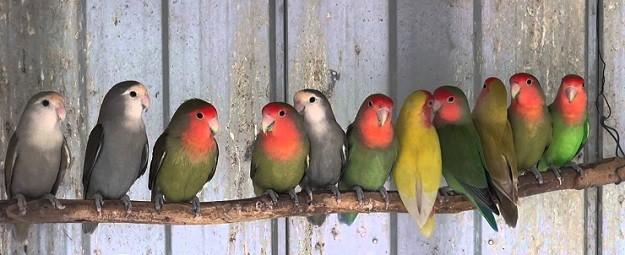 otras mutaciones de colores en el agaporni
