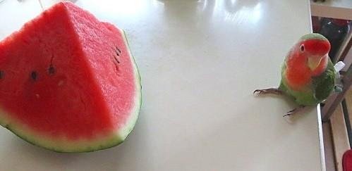 agaporni alimentos con sandia