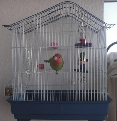 agaporni escapando de jaula