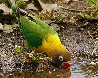 inseparable personata bebiendo agua fresca y limpia