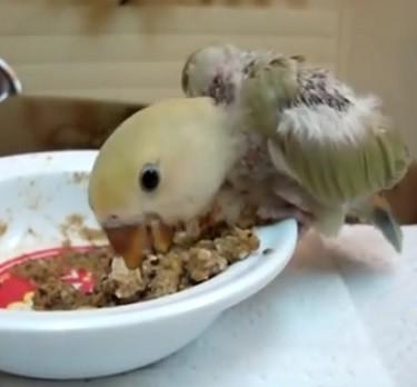 agaporni papillero comiendo bizcocho aguado