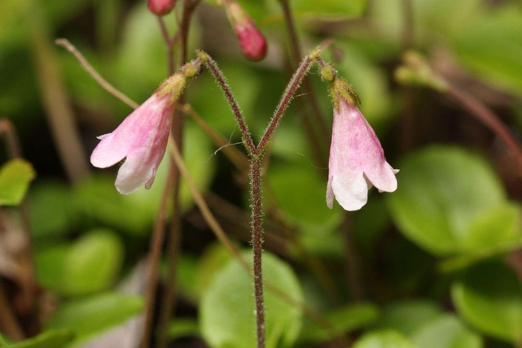 """""""Linnaea borealis"""" (Walter Siegmund via Wikipedia)"""