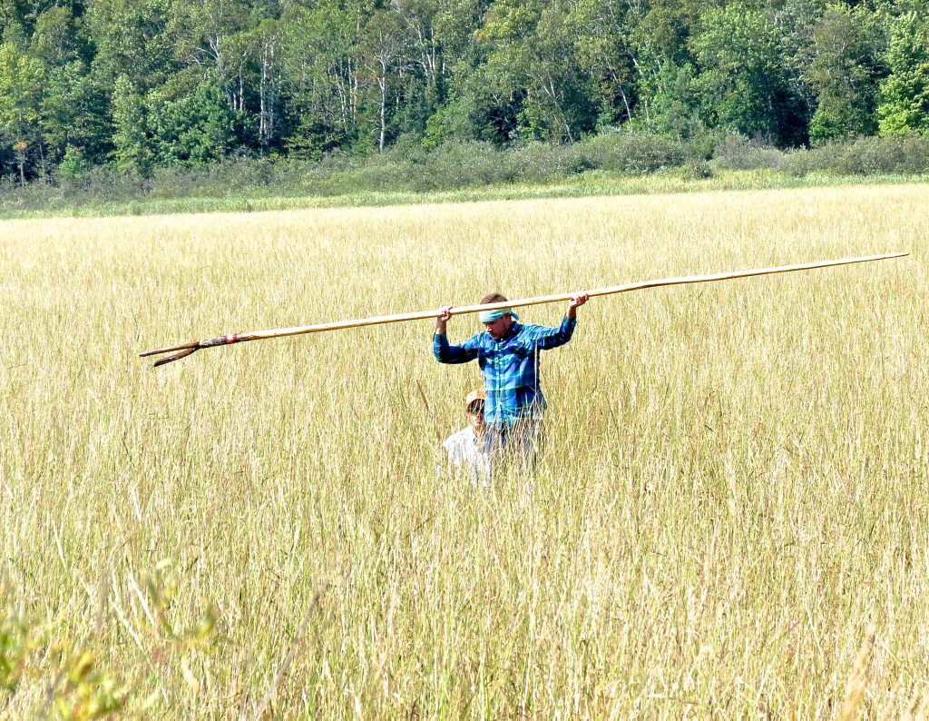 "A healthy stand of wild rice, Zizania palustris, at harvest time. Ojibwe people call this important activity ""manoominike."" The standing partner uses the ""gaandakii'igan"" (push pole) to get around and the seated partner uses the ""bawa'iganaakoog"" (knocking sticks) to collect the rice. Photo by Cheryl Katz."