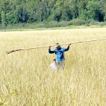 Efforts to restore wild rice in the St. Louis River face challenges