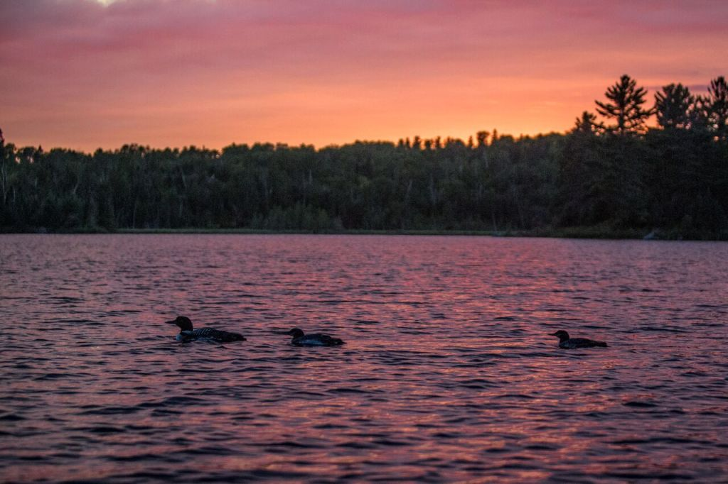 Loons on Jasper Lake. Photo by Chuck Dayton.