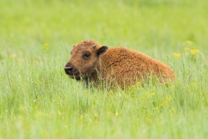 Young bison in the grassland. Photo © John Duren