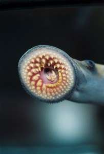 Sea lamprey. Photo courtesy T. Lawrence, Great Lakes Fishery Commission.
