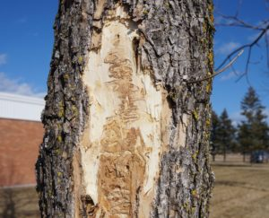 EAB larvae tunnels under ash tree bark.