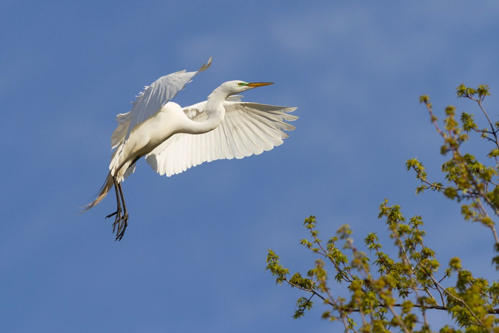 Great Egret (St. Croix Island Recreation Area). Photo © Bruce Leventhal