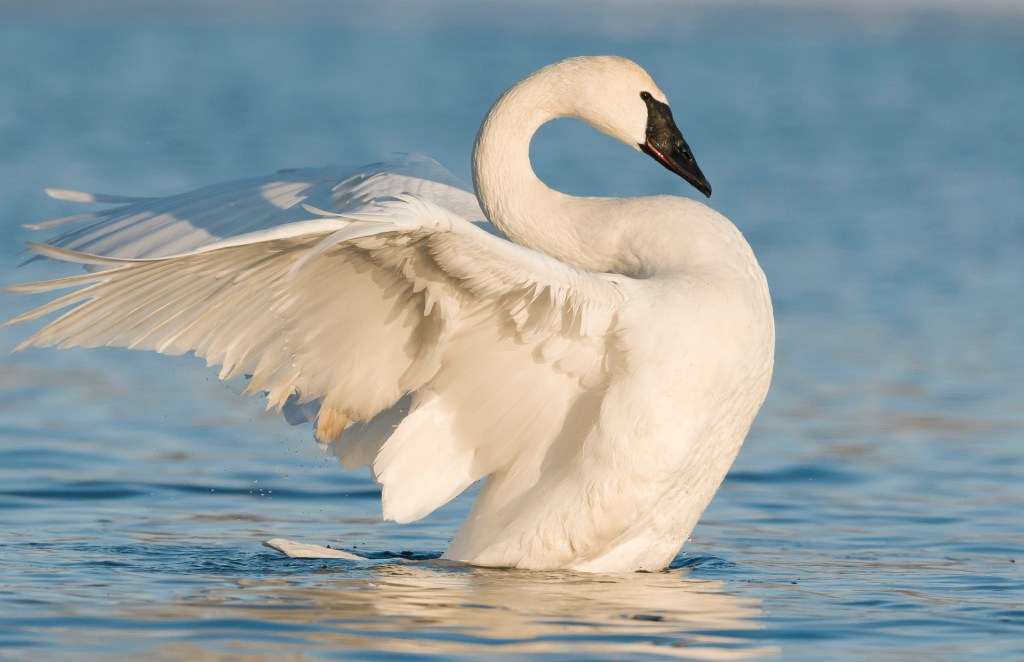 Trumpeter Swan. Image © Dominique Braud