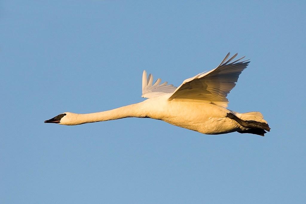 Trumpeter swan. Photo © Dominique Braud