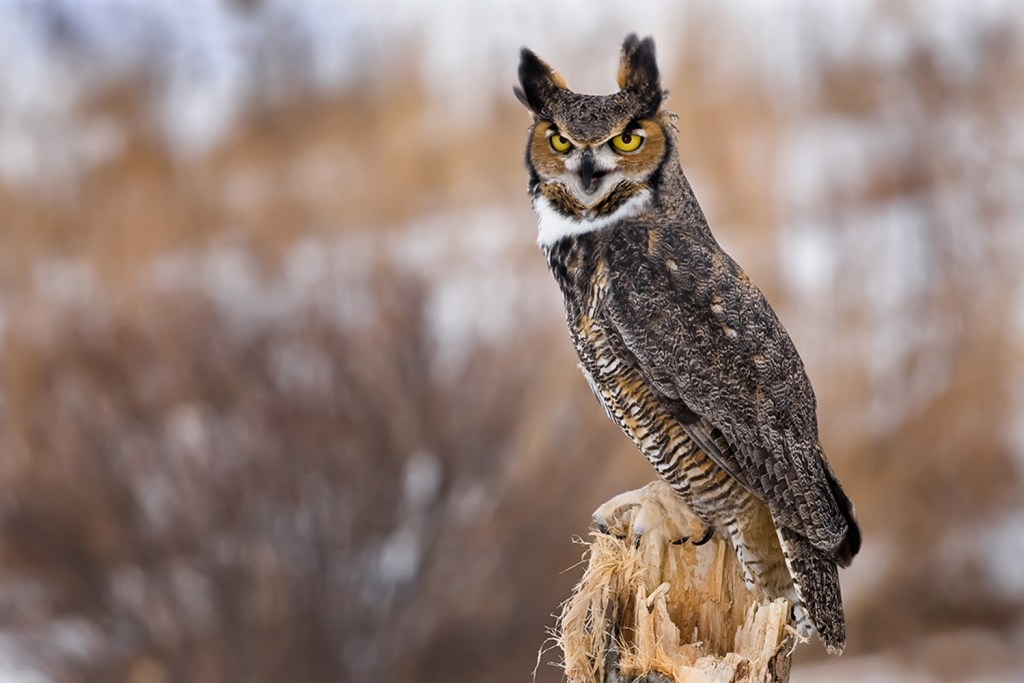Figure 5. Great Horned Owl. Photo © Mike Lentz