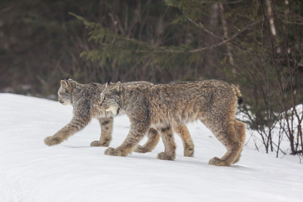 An 8,065 square-mile region in northeastern Minnesota is defined as critical habitat for threatened lynx in the Lower 48 under the Endangered Species Act. Photo © Thomas Spence