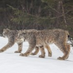 Canada Lynx: Life on the Edge