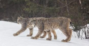 Canada Lynx: Life on the Edge